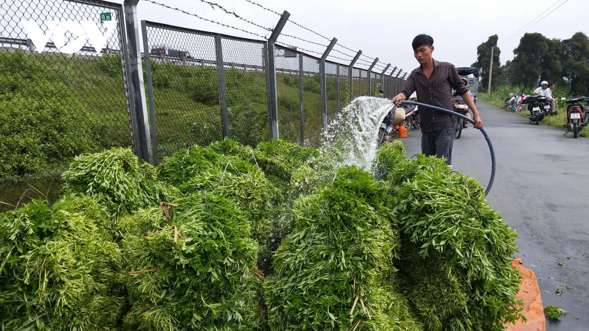 Phun nước làm sạch rau trước khi cung ứng cho khách hàng.