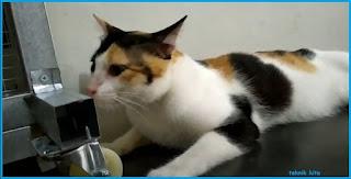 Kucing kembang telon pejantan