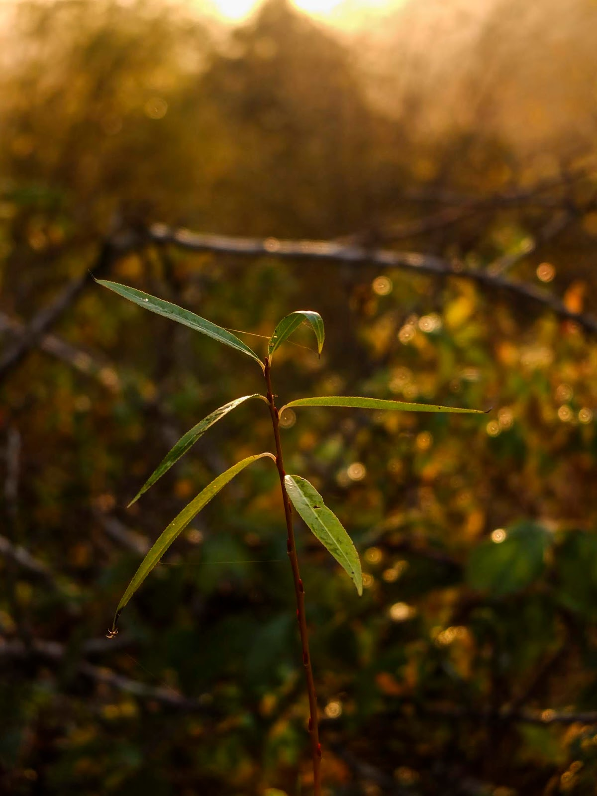 A close up of Willow tree shoot during golden sunset hour.