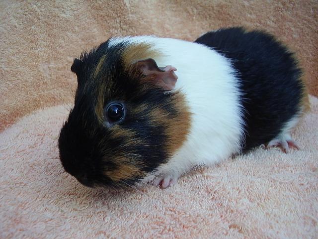 boar dating guinea pigs