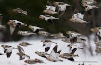 Flock of snow buntings – New Glasgow, PEI – Feb. 19, 2017 – by Matt Beardsley