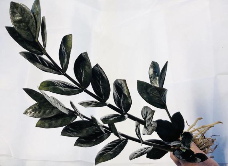 Zamioculcas black