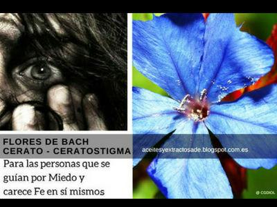 Cerato estas Fores de Bach indicado para personas que sufren de Miedo y carecen de fe en si mismos