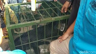 Terkam Warga, Macan Kumbang di Subang Dievakuasi dengan Tembak Bius