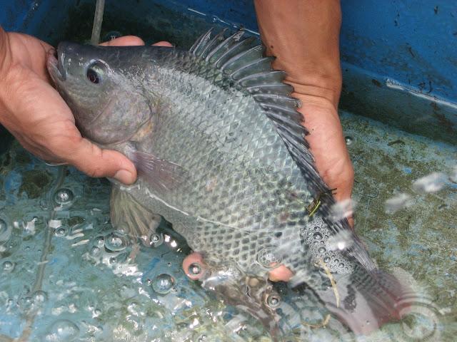 Peluang Usaha Ternak Ikan Nila Beserta Analisa Modal dan Keuntungannya