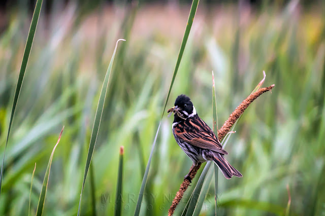 With a freshly caught insect a male reed bunting looks around while perched on a reed
