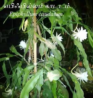 Epiphyllum caudatum.