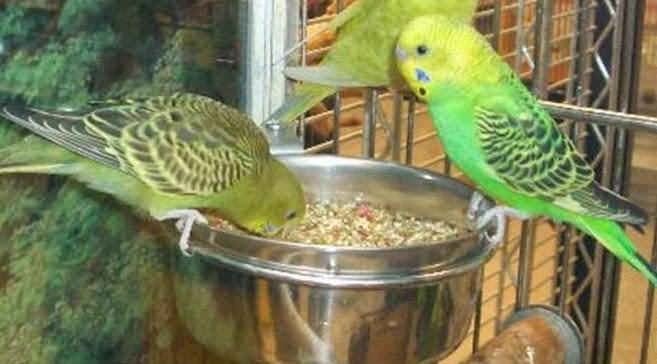8 Manfaat Air Garam untuk Burung Murai Batu - ArenaHewan.com