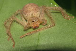giant crab spider, family Sparassidae?