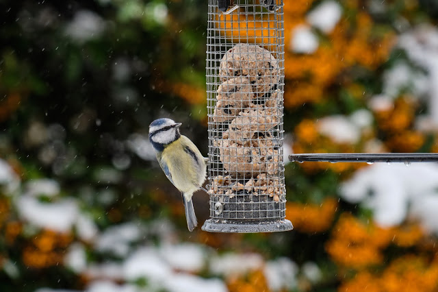 Blue Tit on a feeder waiting to eat, in winter.