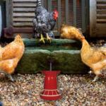 Poultry Farm Easter Escape
