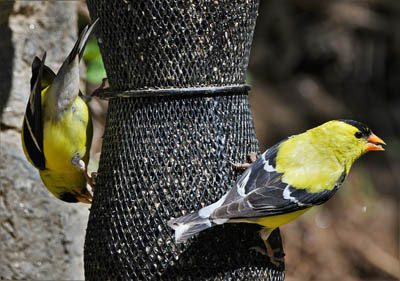 Photo of American Goldfinches at feeder. Miles Moody from Pixabay.