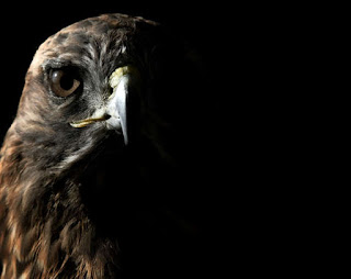 Two Hawks - Eagle Crow