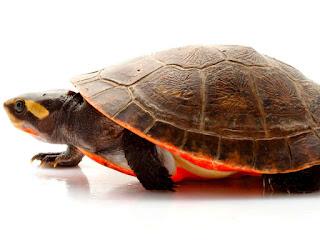 kura-kura-dada-merah.jpg