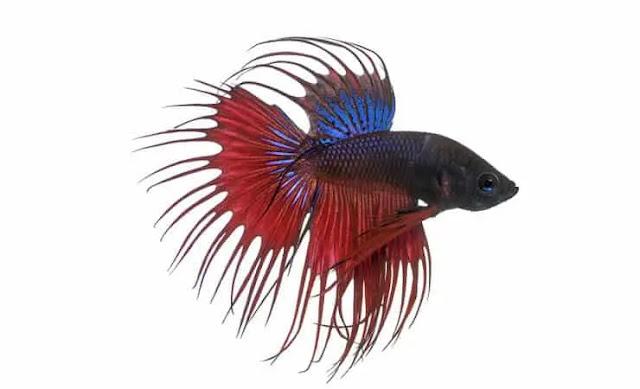 Ikan cupang serit atau crowntail