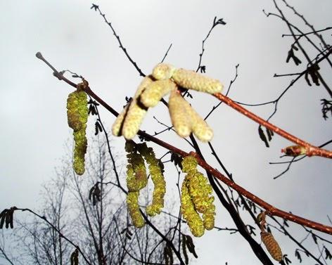 Flores masculinas y femeninas del avellano