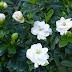 Mengenal Gardenia Jasminoides, Tanaman Cantik Dengan Segudang Manfaat