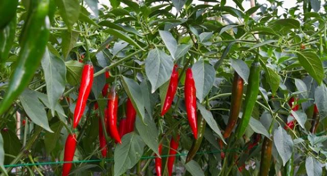 Manfaat cabai merah bagi kesehatan