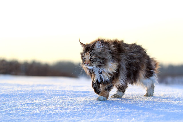 Maine Coon Cat Breed