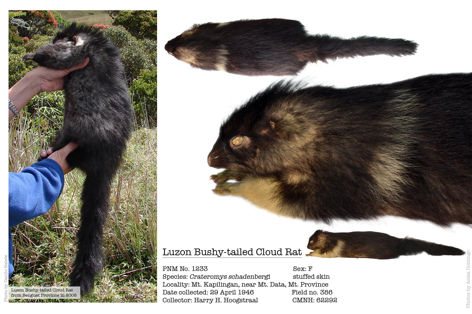 "Luzon Bushy-tailed Cloud Rat Locally Known as ""Bu-ot"""