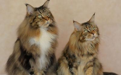 Tujuan Membersihkan Telinga Kucing