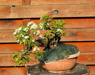 Mahaleb, yamadori, blossoms