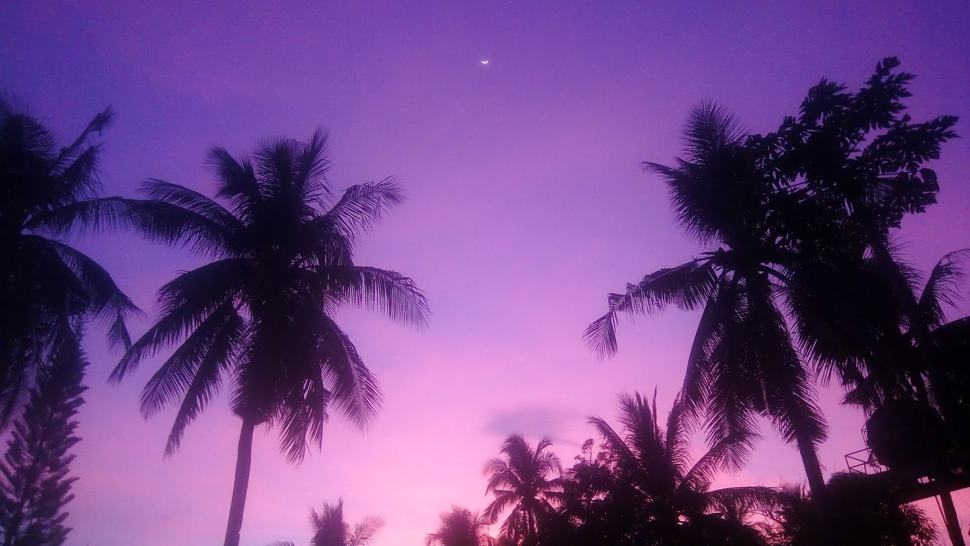 Palm Tress with purple background