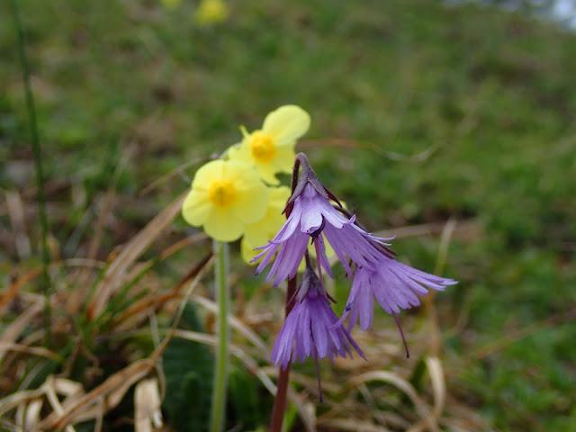 Urdzik karpacki i bliżej niezidentyfikowany żółty kwiatek