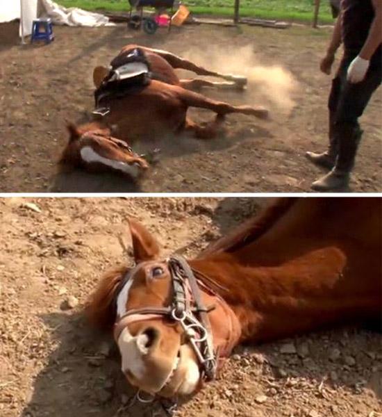 Cavalo que finge de morto -Img
