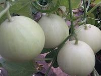 Manfaat Penting Mulsa Plastik Untuk Budidaya Melon Apel, Agar Panen Melimpah