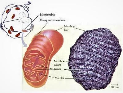 mitokondria