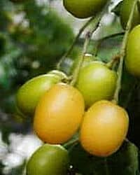 Neem tree fruits for making seeds