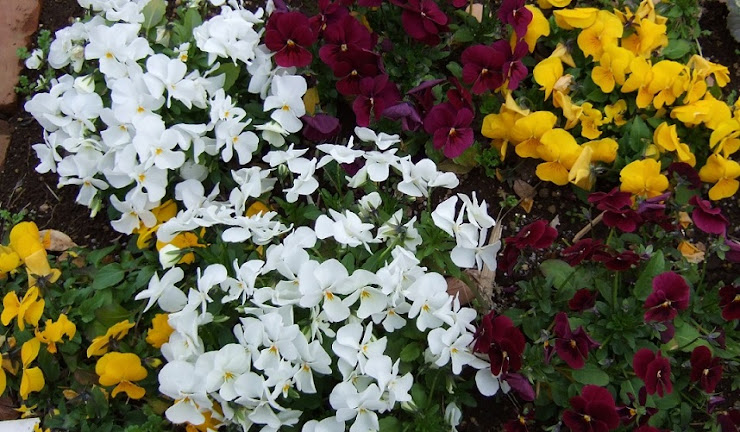 花壇のビオラ…白、黄色、紫
