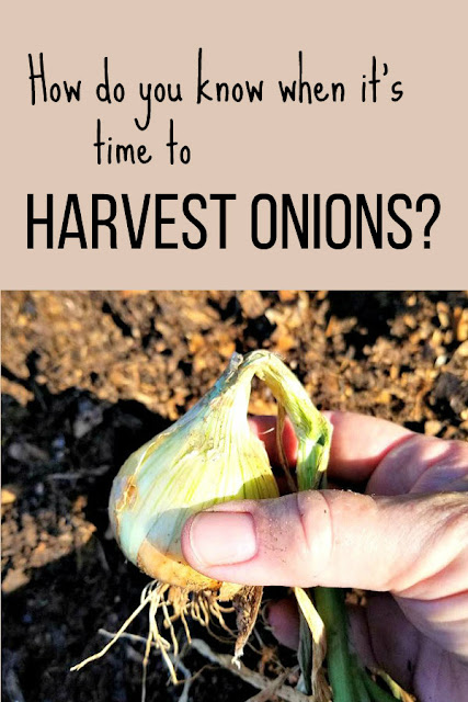 How to know when it's time to harvest the onions.