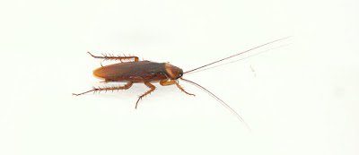 facts about cockroach