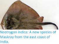 https://sciencythoughts.blogspot.com/2018/01/neotrygon-indica-new-species-of-maskray.html