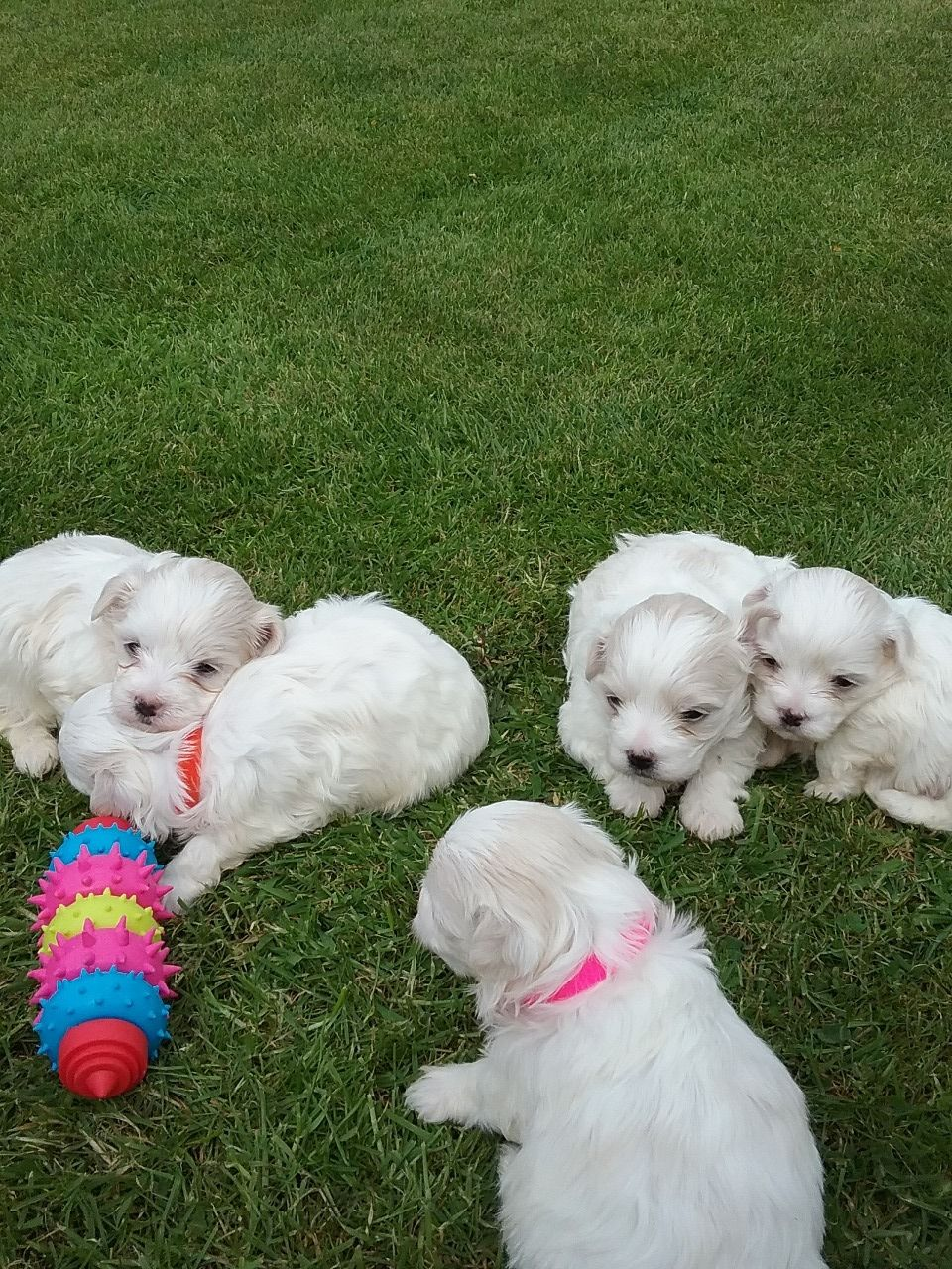 Pure Breed Maltese Puppies For Sale +1(337) 603-0249