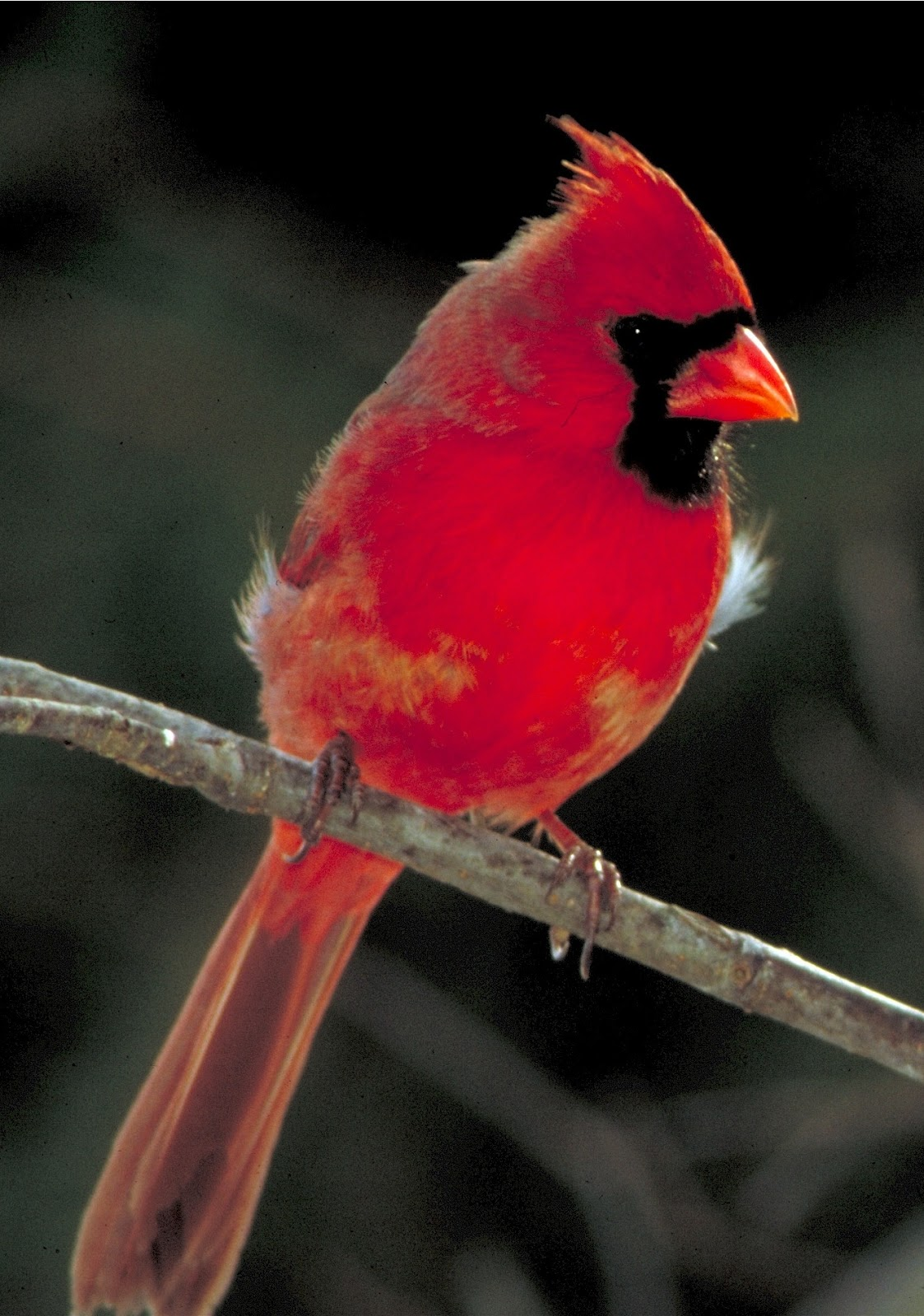 An image of a male cardinal bird.