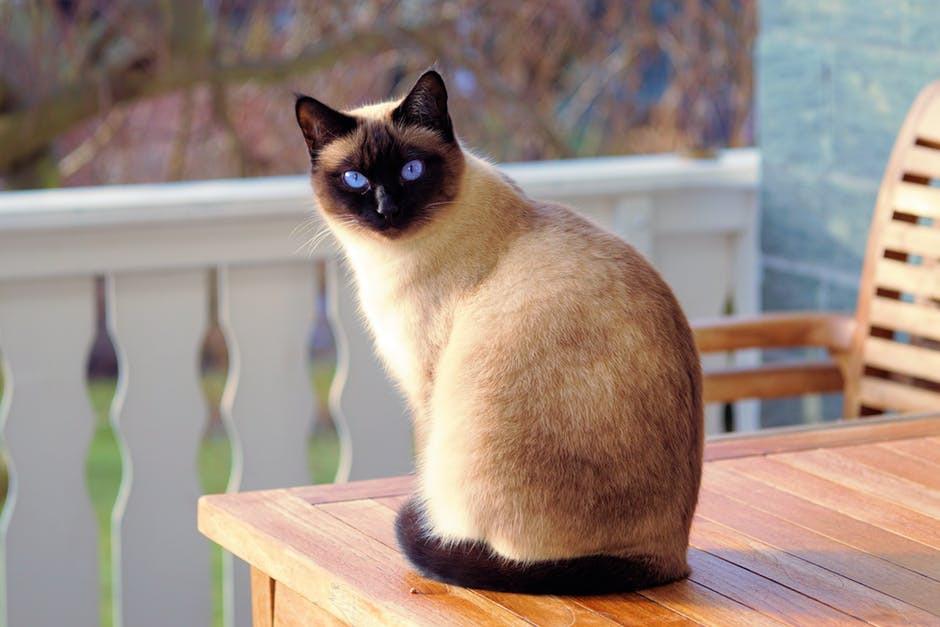 القط سيامي