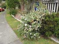 Marlborough Rock daisy in front of Te Kainga Marire - New Plymouth, New Zealand