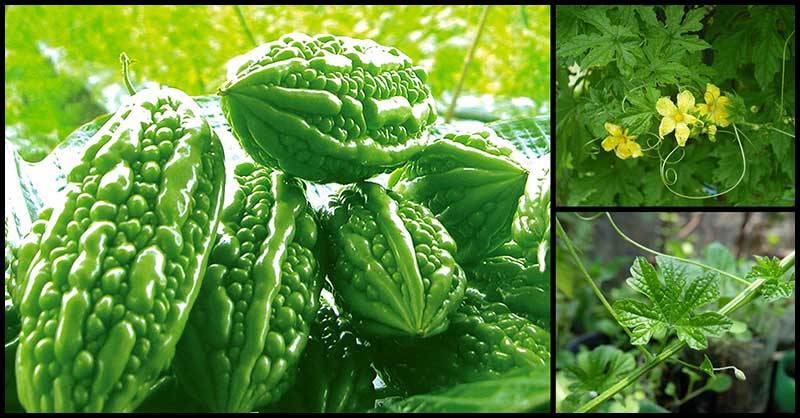 Ampalaya May Help In Dealing With Diabetes Symptoms