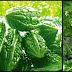 Ampalaya: A Plant Approved By The DOH To Combat Symptoms Of Diabetes
