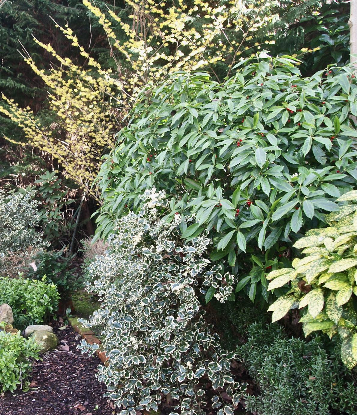 Travel In A Garden Aucuba Japonica