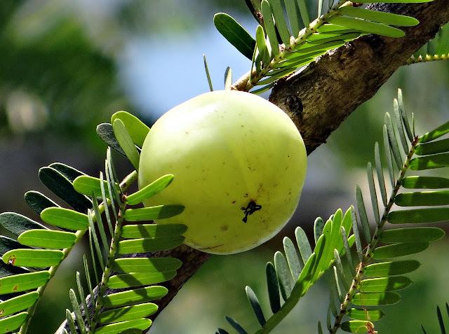 gooseberry benefits in hindi, आंवले के नुकसान