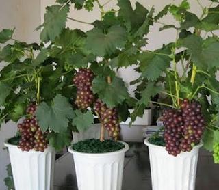 Budidaya Anggur dalam Pot