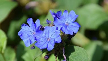 Ceratostigma plumbaginoides, planta vivaz tapizante tolerante a la sequía que ofrece alfombras de flores azules en otoño