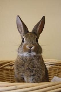 karakter dan sifat kelinci