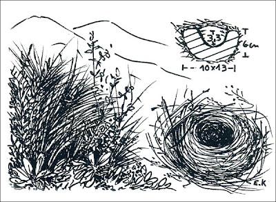 nido de Piquitodeoro grande Catamenia inornata