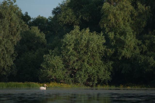 Pelican, Lacul cu Cotete