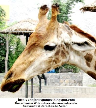 Foto de perfil a la cara de la jirafa en el Parque de Huachipa. Foto de una jirafa de Jesus Gómez